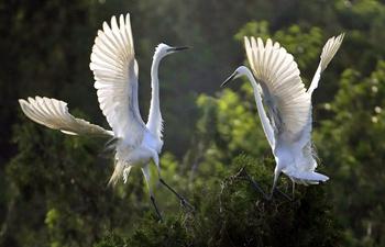 Egrets seen in Qidashan forest park, E China's Jiangsu