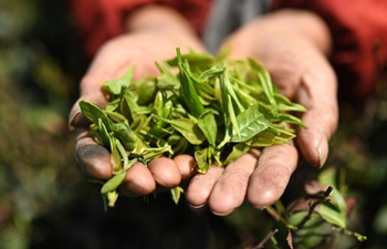 Tea industry helps villagers increase income in E China