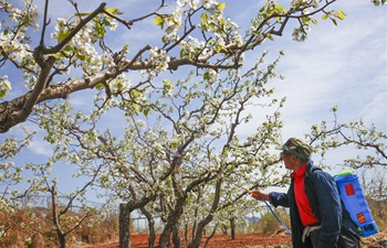 In pics: pear garden in north China's Hebei