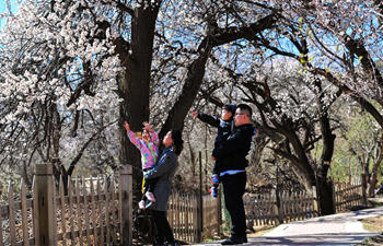 In pics: apricot flowers in Hohhot, China's Inner Mongolia