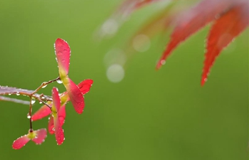 Scenery of maple leaves in Enshi, central China's Hubei