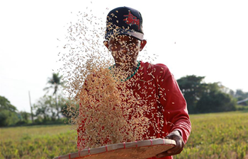 Farmer sifts rice grains in the Philippines