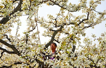 Blossoming pear trees seen in N China's Hebei