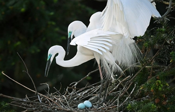 Egrets settle down at Xiangshan Forest Park to spend breeding season in E China