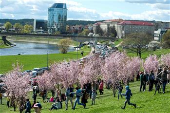 People enjoy cherry blossoms in Vilnius, Lithuania