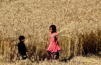 Farmers harvest wheat in Peshwar, NW Pakistan