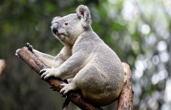 Cute koalas in China's Guangzhou Chimelong Safari Park