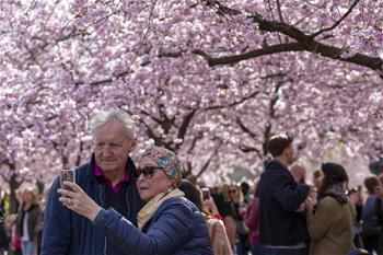 People enjoy cherry blossoms in central Stockholm, Sweden