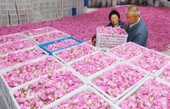 Rose planting benefits farmers in village of east China's Jiangsu