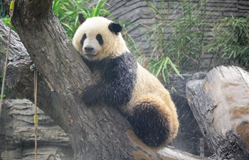 Giant panda takes shower amid heat weave at Beijing Zoo