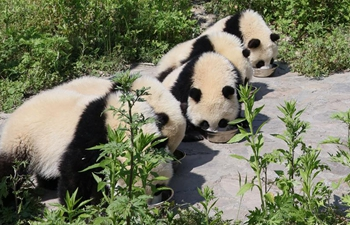 Shenshuping protection base home to more than 50 giant pandas in SW China's Sichuan