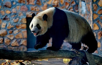 Four giant pandas from SW China's Chengdu start trip in northern cities