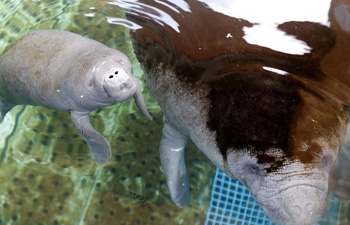 In pics: African manatee cub and its mother at Chimelong Ocean Kingdom in Zhuhai, south China