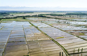 In pics: paddy fields in China's Xinjiang