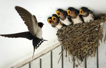 Swallow seen feeding babies in Guiyang, southwest China