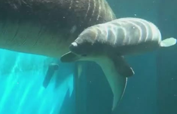 Adorable! Critically endangered baby sea cow debuts in China