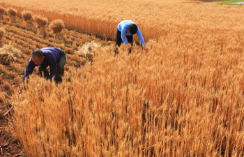 Wheat harvest season comes in China