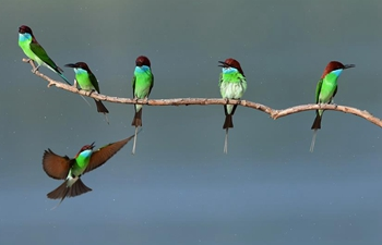 Blue-throated bee-eaters seen in SE China's Fujian