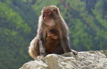In pics: Tibet Dargo gorge, habitat for wild monkeys