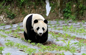 Giant panda roaming into village in Sichuan, SW China