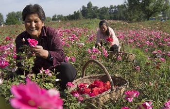 """Rose Town"" attracts tourists in NW China's Shaanxi"