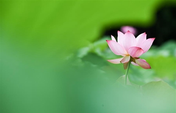 Scenery of lotus flowers in Hefei, E China's Anhui