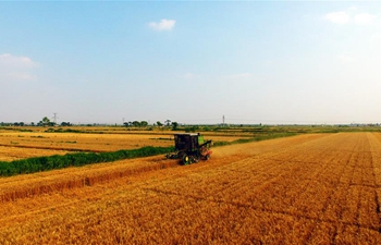 In pics: wheat harvest in N China's Hebei