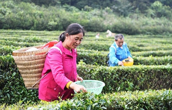 Tea planting industry helps reduce poverty in SW China