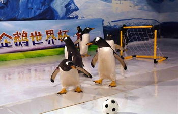 Penguins play football at Harbin Polarland