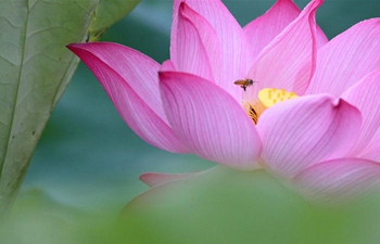 Lotus flowers in bloom in Hengyang, C China