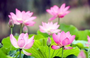 Lotus flowers bloom across China