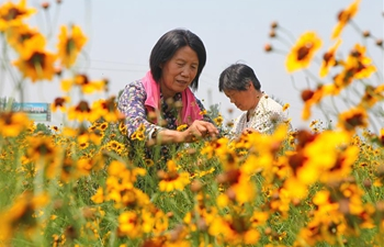 Plantation of chrysanthemum helps local people get rid of poverty in Handan