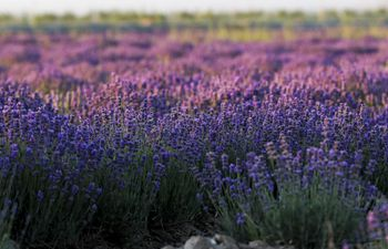 Lavenders bloom in Ili River valley in NW China's Xinjiang