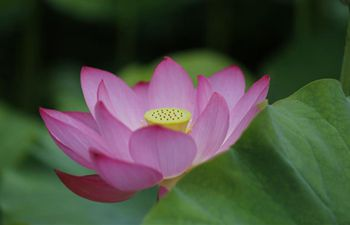 Lotus flowers in summer