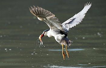 Night heron catches fish at Xihu Park in Fuzhou, China's Fujian