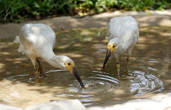 8 crested ibis birdlings hatched via artificial breeding in Guangzhou