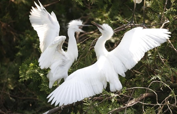 In pics: egrets at Hongze Lake wetland in E China's Jiangsu