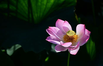 Lotus flowers in bloom across China