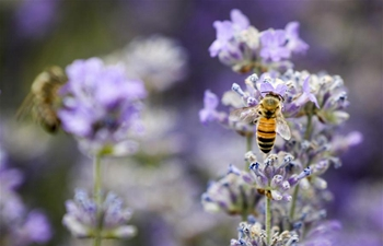 Beekeepers greet harvest season in Ili's lavender cultivation base