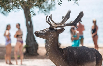 Fallow deer seen on beach of Croatia's Island Badija