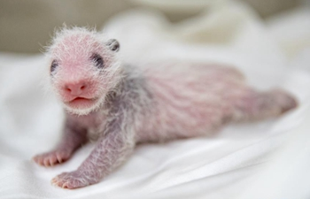 In pics: 11-day-old giant panda cub in Guangzhou, south China