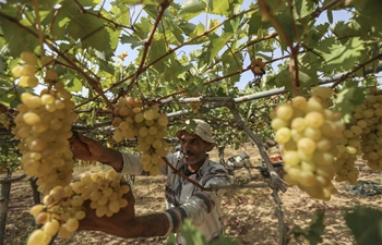 Grapes enter harvest season in Gaza City