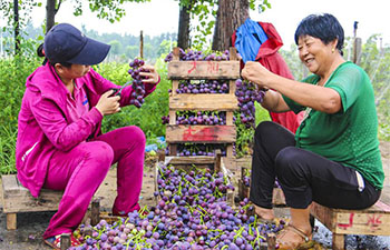 Farmers harvest grapes in Bingjiao Village, N China's Hebei