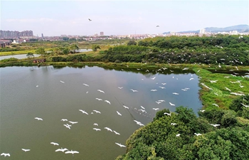 Aerial view of egrets flying over forest park in E China's Jiangxi