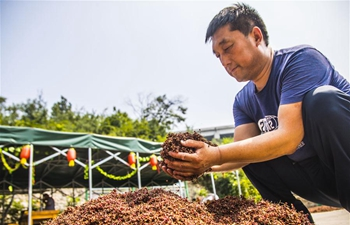 Sichuan peppers produced in Daliyan Village popular on markets
