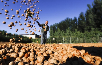 Walnuts harvested in Shiqiaotou Village, N China's Hebei
