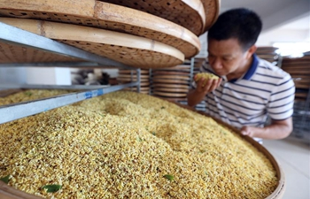 People collect sweet-scented osmanthus in SE China's Fujian
