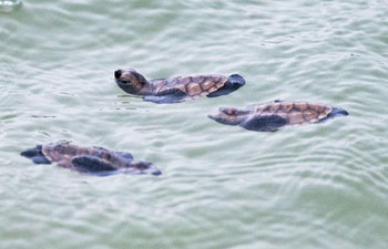 Newly hatched Hawksbill sea turtle released to sea at Singapore's Sentosa Island