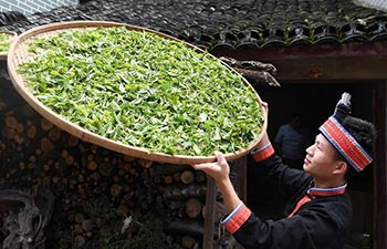 China's Guangxi greets tea harvest season