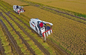 Farmers drive agricultural machinery to harvest rice in Tangshan, N China